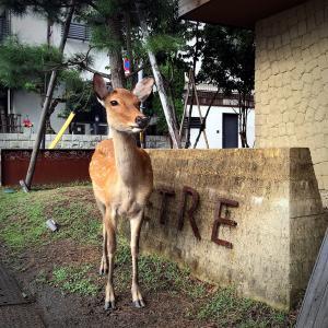 世にコロナ太りというけれど、すっかり痩せた奈良の鹿さんたち