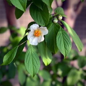 沙羅双樹の花の下。。。