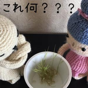 『玄米で発芽玄米は作れるのか?』〜夏休みの自由研究もどき😏〜