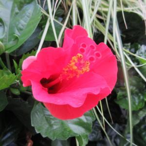 夏の花 ハイビスカス