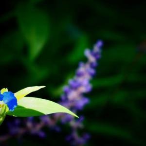 ツユクサとヤマトシジミ蝶
