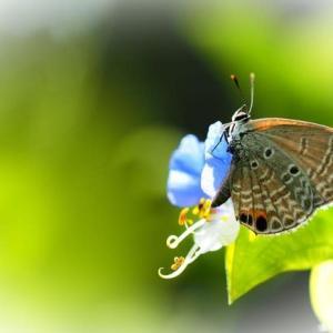 迷蝶 クロマダラソテツシジミ蝶