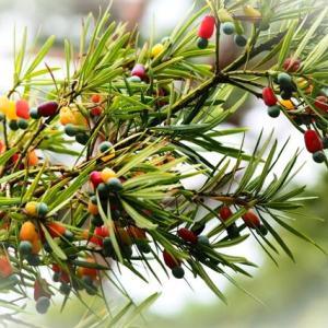 イヌマキの木に実が実り ヤナギハナガサにはナミアゲハ