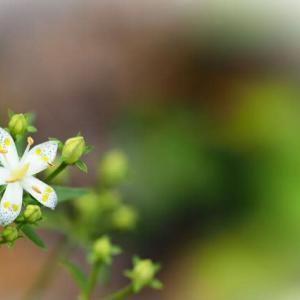 曙草や梅花甘茶等の花に、今日も元気をもらって♪