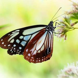 旅をする蝶 アサギマダラ