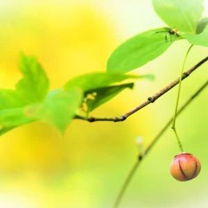 ツリバナの実も赤くなり 木々の葉も衣替え