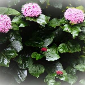 ご近所散歩 雨に咲く花たち🌺 ボタンクサギ コムラサキ ツユクサ アガパンサス ソライロアサガオ エゴノキ(実)
