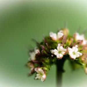 """""""ひっそり""""と自立して生きるクワクサの花🌼   🦋モンシロチョウ ムラサキシジミ"""
