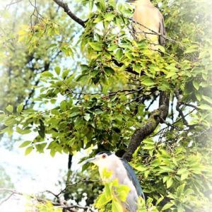 エノキの木に ゴイサギさん🌲 木の下にはエノキグサが 咲いていました😊