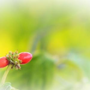 九月 長月 はじめの日🍁 ハナミズキ(実)ヒヨドリジョウゴ シロシキブ ナンバンキセル ススキ