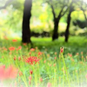 花は葉を 葉は花を見なくても 思う心はお互いに🥀  ヒガンバナ ホザキナナカマド オモダカ