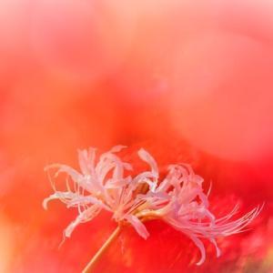 白い花さえ 真紅にそめる~~🎵 無意識にあの頃の歌を歌っていました~😊  曼殊沙華