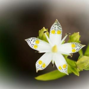 空に残る星が 花びらにかくれんぼ🌟 アケボノソウ シラネセンキュウ シラヤマギク ヒヨドリバナ 🦋ミドリヒョウモン