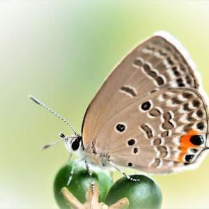 今日も嬉しい😊 蝶日和でした~🦋 クロマダラソテツシジミ オオスカシバ キマダラセセリ ナミアゲハ