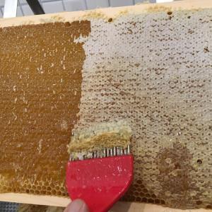今年は遅め ハチミツ収穫