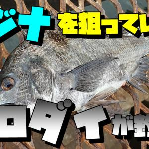 メジナ狙いでクロダイがきた:磯子海釣り施設