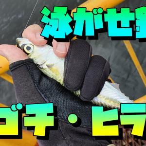 マゴチ・ヒラメを狙って泳がせ釣り!!神奈川・横浜
