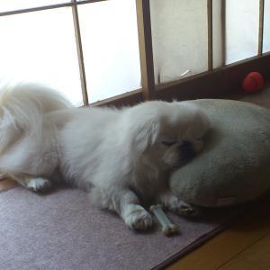 #133 伏せ寝でなく、クッションに寄りかかって寝るパオパオ君