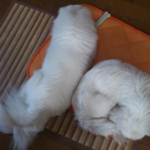 #134 犬生初!くっつくように一緒にお昼寝をするパオ&ポピー☆