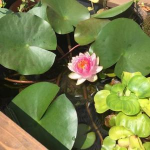 メダカ ビオトープ ついに睡蓮(スイレン)開花!立ち上げ2ヶ月の様子