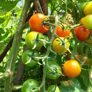家庭菜園ミニトマト 雑草だらけでもなんとかなりました