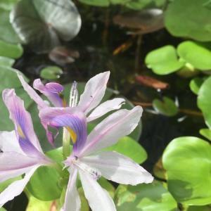 【ビオトープ】ホテイアオイの花が咲く