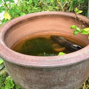 メダカビオトープ 甕(かめ)の水位を下げました