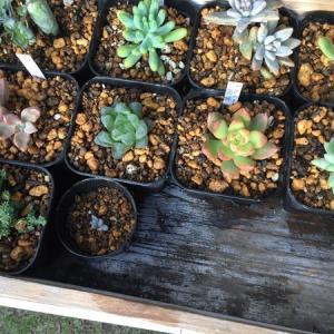 多肉植物の植え替え。鉢はプレステラ90。