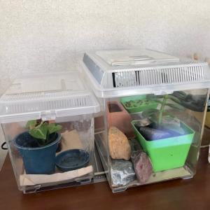 ニホンヤモリ飼育日記 63 ヤモケースを移動。