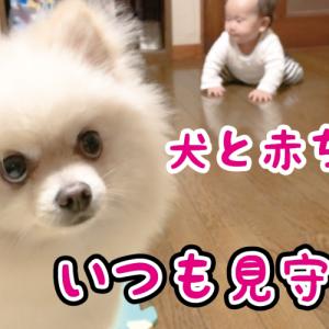 【犬と赤ちゃん】嫉妬深い娘を見守るポメラニアン Pomeranian watching over her jealous daughter