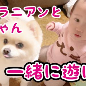 【犬と赤ちゃん】膝立ちでスイスイと進む娘について行きたいポメラニアン