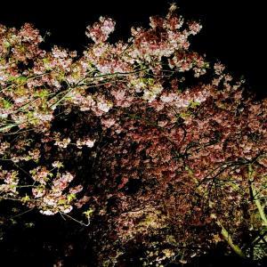 河津の夜桜の わさびラーメン