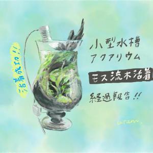 小型水槽アクアリウム*流木モス活着の挑戦 [経過報告2/活着成功]
