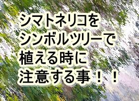 シマトネリコをシンボルツリーで植える時に注意する事!!