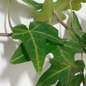 【強い】冬でも水だけでアイビーの挿し木に成功したぞ!