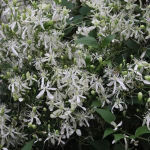 近所でも咲いていた「 センニンソウ 」