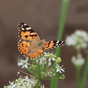 ニラの花の蝶