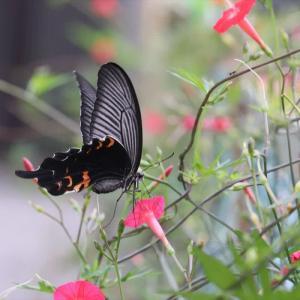 ルコウソウにアゲハ蝶