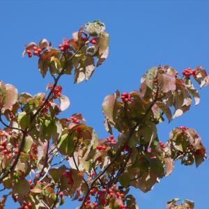 「 ハナミズキ 」の赤い実
