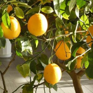 八丈の「 完熟レモン 」