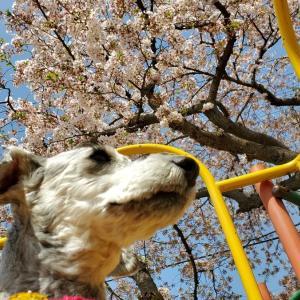 ❝桜に葉っぱが出てきました🍃❞ 2021年3月31日