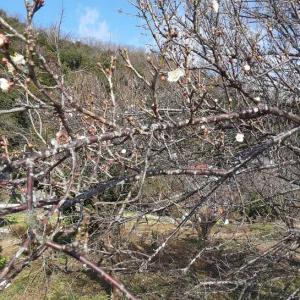 ウォーキング(^▽^)/(^▽^)/・・。53梅の花