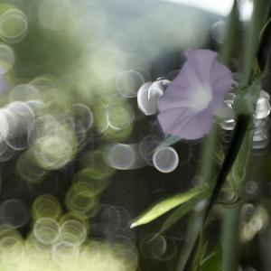 Leica SLとLeica Thambar で撮るアサガオ