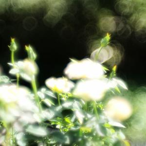 Leica Thambar +Leica M-P type 240で撮るバラ