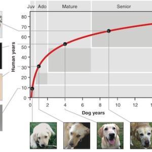 【研究】犬の年齢は7倍ではない