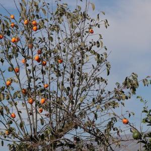 美濃柿を干す