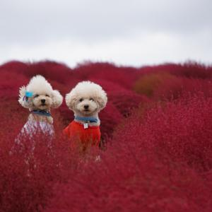 真っ赤に染まるコキアと可愛い秋桜♡︎秋の海浜公園へ