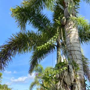 【つぶやき】グアムローカルの知恵?ココナッツツリーをリメイク