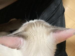 猫の耳が熱い!? 慌てなくても大丈夫な理由