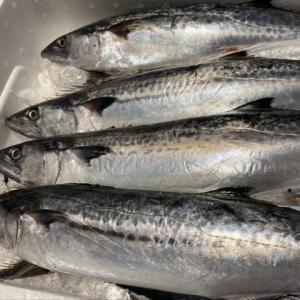鰆(サワラ) 春のイメージが強いけど実は… 秋冬の魚介類